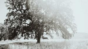 Quercus lobata SW786, Sedgewick Reserve, CA