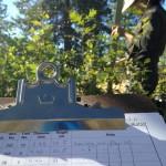 Oak_seedling_Measuring_Placerville_2